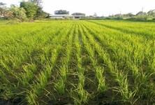 Продажа: Земельный участок 18 рай в районе Kut Chum, Yasothon, Таиланд