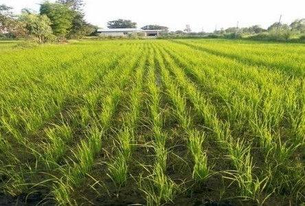 For Sale Land 18 rai in Kut Chum, Yasothon, Thailand