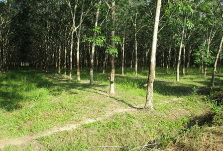 For Sale Land 15 rai in Rattaphum, Songkhla, Thailand