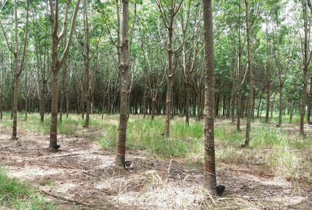 For Sale Land 19-3-81 rai in Seka, Bueng Kan, Thailand